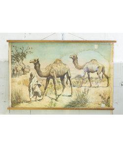 Zoologische schoolplaat - Dromedaris