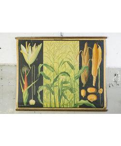 Botanische schoolplaat - Mais