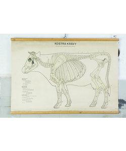 Vintage schoolplaat - Skelet koe
