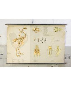 Anatomische schoolplaat - Skelet kip