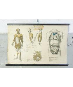Anatomische schoolplaat - Spierstelsel