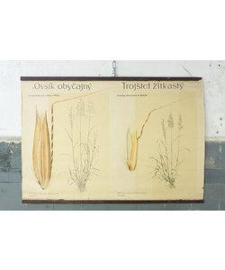 Botanische schoolplaat - Glanshaver/goudhaver