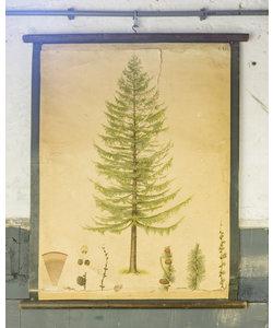 Botanische schoolplaat - Spar