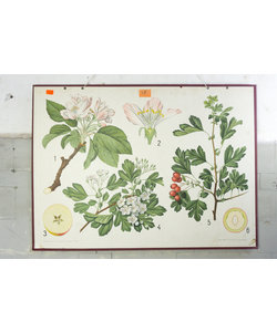 Botanische schoolplaat - Appelboom & Meidoorn