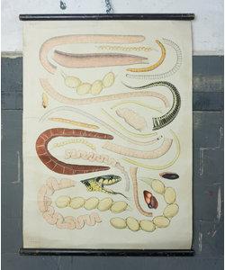 Zoölogische schoolplaat - Anatomie slang Nr. 4