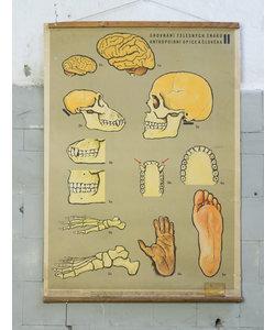 Prehistorische schoolplaat - Aap en mens No. 2