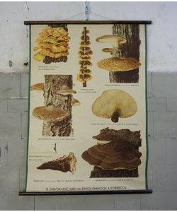 Botanische schoolplaat - Schimmels No. 1