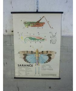 Zoölogische schoolplaat - Sprinkhaan