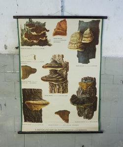 Botanische schoolplaat - Schimmels No. 2