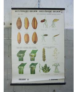 Botanische schoolplaat - Granen