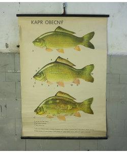 Zoölogische schoolplaat - Karper