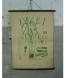 Botanische schoolplaat - Gecultiveerd gras II