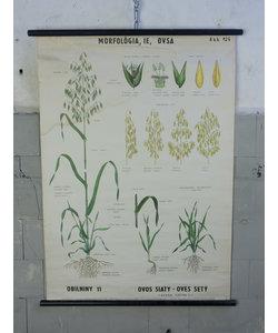 Botanische schoolplaat - Haver