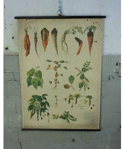 Botanische schoolplaat - Verschillende groenten