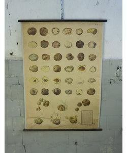 Botanische schoolplaat - Knolziekten van aardappelen