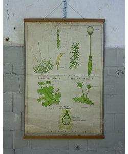 Botanische schoolplaat - Levermossen