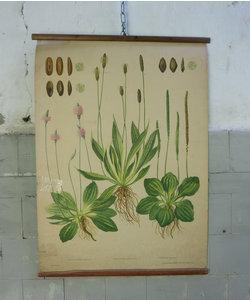Botanische schoolplaat - Weegbree