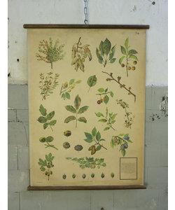 Botanische schoolplaat - Fruitschimmels