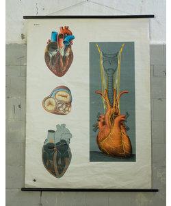 Anatomische schoolplaat - Hart No. 1
