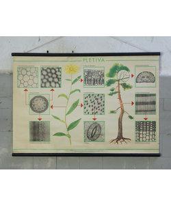 Botanische schoolplaat - Doorsnee blad en stam