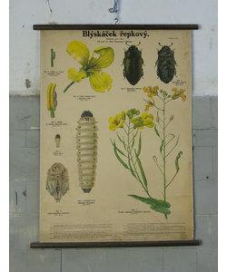 Botanische schoolplaat - Koolzaad