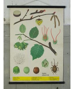 Botanische schoolplaat - Hazelnoot