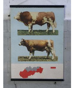Zoölogische schoolplaat - Koe&Stier