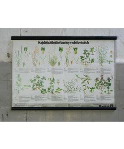 Botanische schoolplaat - Belangrijk onkruid in granen