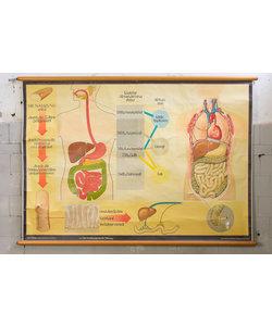 Anatomische schoolplaat - Spijsverteringssysteem van voedsel