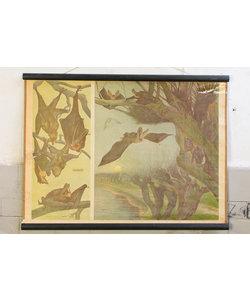Zoölogische schoolplaat - Vleermuis soorten