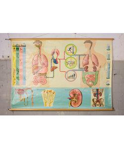 Anatomische schoolplaat 'Stofwisseling'