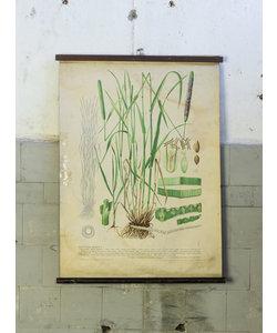 Botanische schoolplaat - Gecultiveerd gras I
