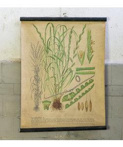 Botanische schoolplaat - Gecultiveerd gras VI