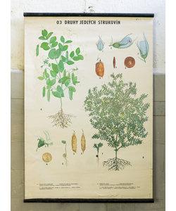 Botanische schoolplaat - Verschillende peulvruchten