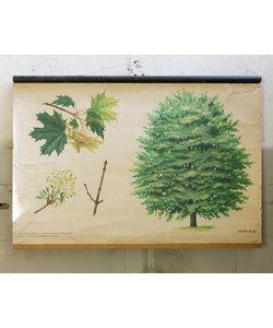 Botanische schoolplaat - Noorse esdoorn