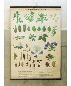 Botanische schoolplaat - Peulvruchten morfologie