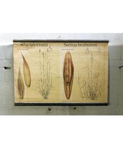 Botanische schoolplaat - Kropaar/Kweekdravik