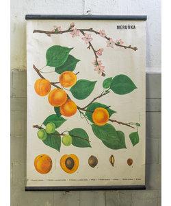 Botanische schoolplaat - Abrikozen