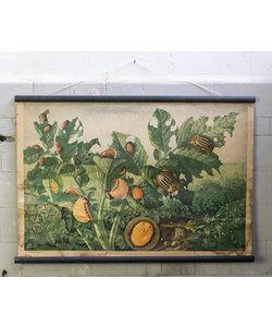 Botanische schoolplaat - Coloradokever