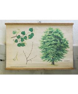 Botanische schoolplaat - Kleinbladige Linde