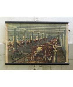 Zoölogische schoolplaat - Melkveehouderij