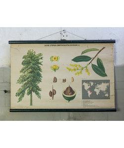 Botanische schoolplaat - Paranoot