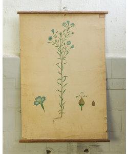 Botanische schoolplaat - Blauwe Boterbloem