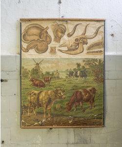 Oude zoölogische schoolplaat - Koeien