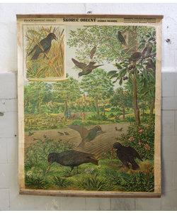 Zoologische schoolplaat - Spreeuwen