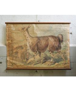 Zoologische schoolplaat - Lama