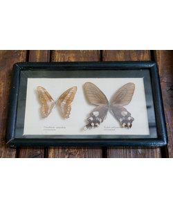 Vlinderlijst - Graphium/Byasa