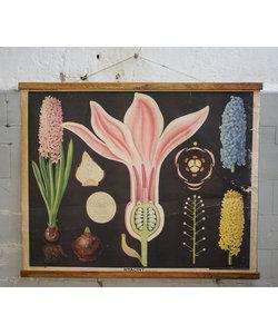 Botanische schoolplaat - Hyacint