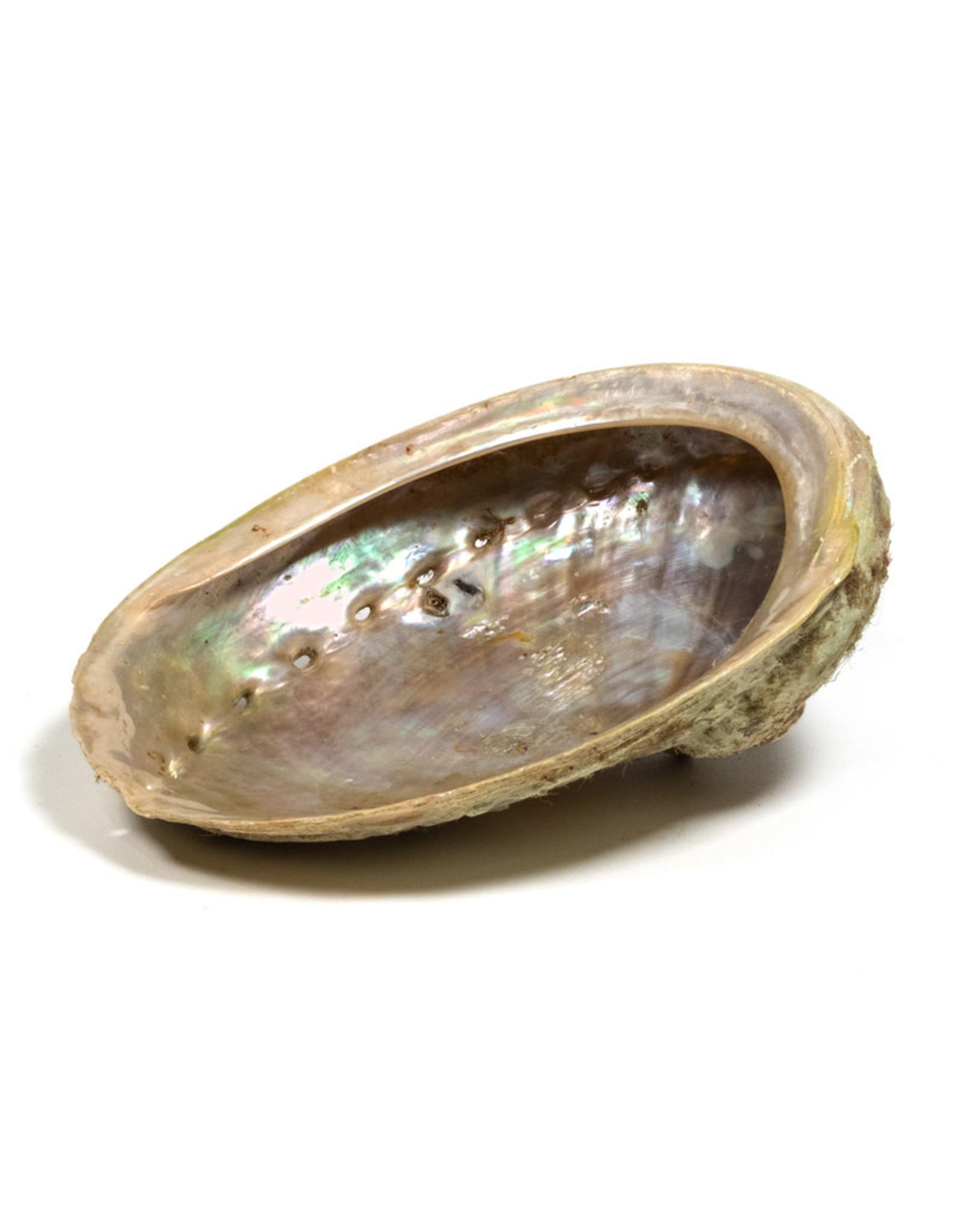 Abalone Haliotis Smudge Schelp M à 15cm