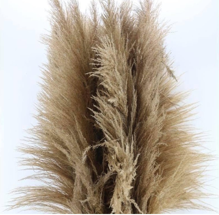Pampas Naturel XL-1